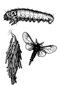 Image of bagworm lifecycle