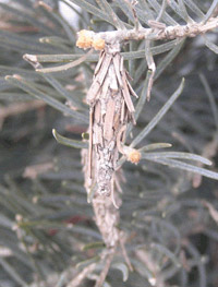 Close-up of Bagworm