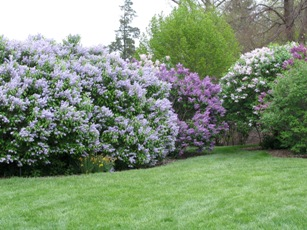 When should i prune my spring flowering shrubs backyard farmer lilacshrub lilacflower mightylinksfo