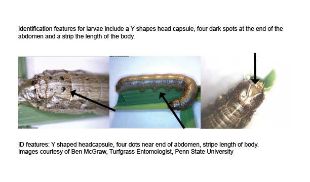 Fall Armyworm larvae ID