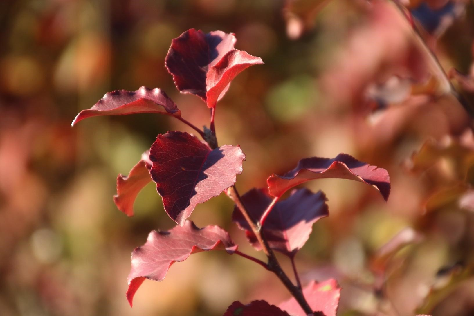 Callery Pear in Fall Color
