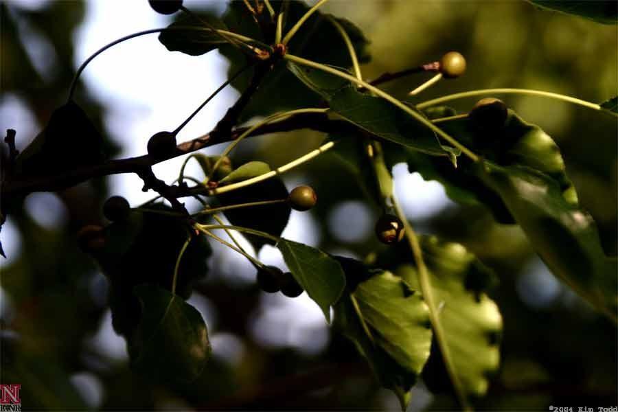 Callery Pear Fruit