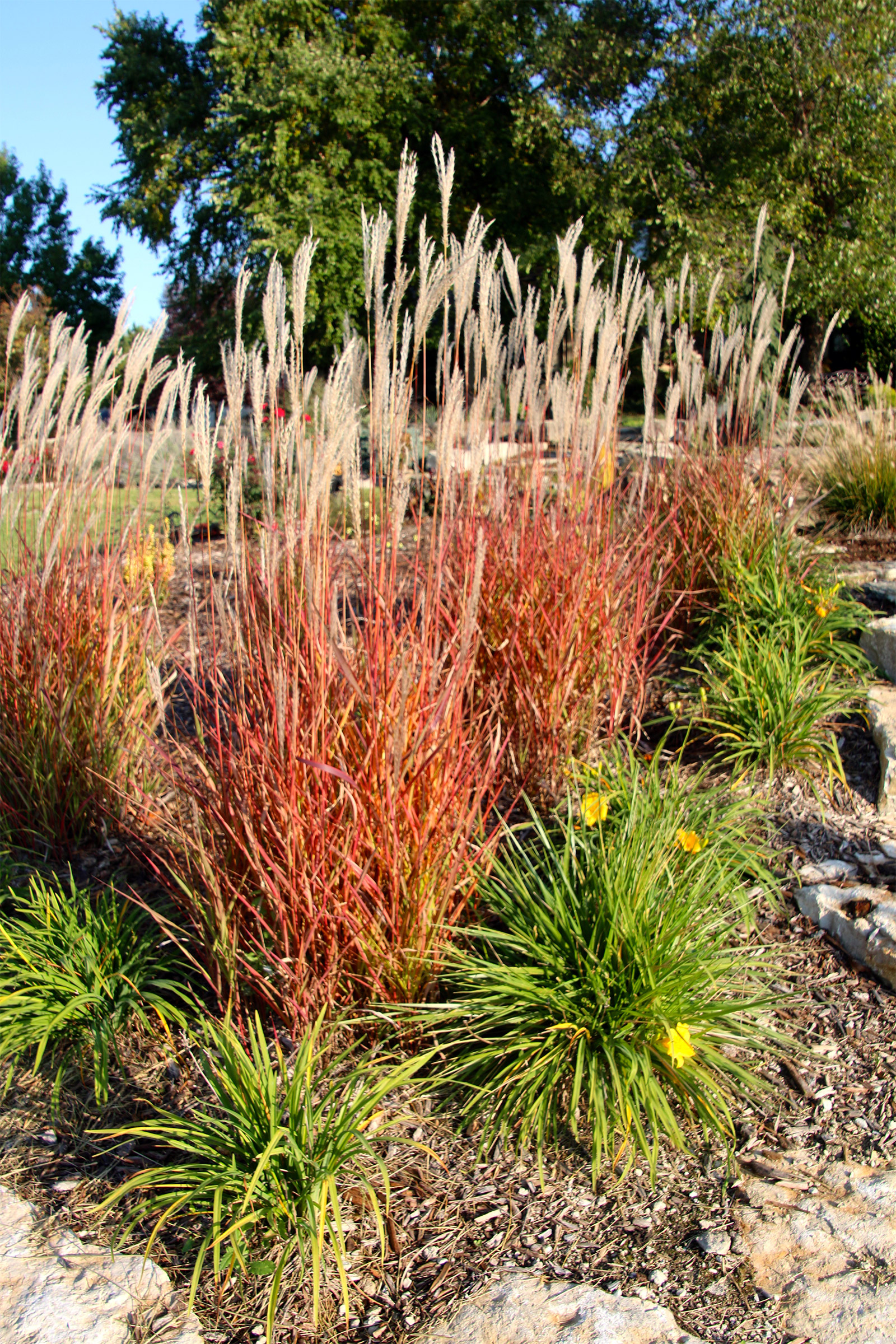 Miscanthus In Seed