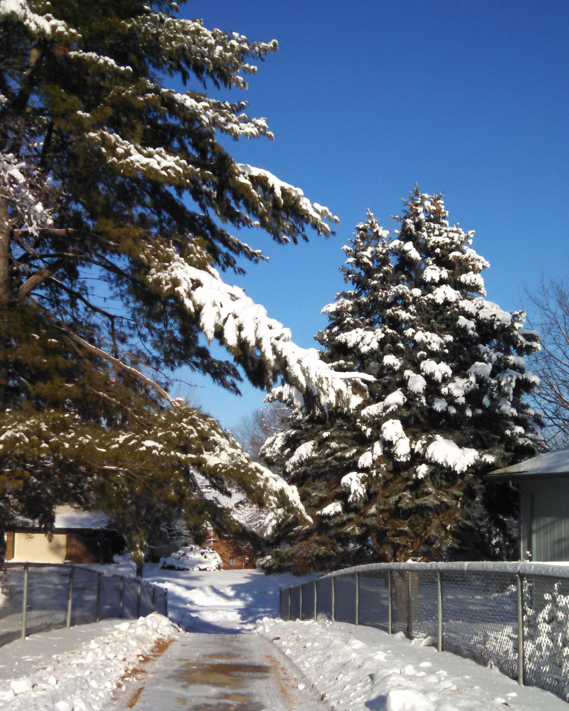 Snow loading on trees